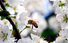 White cherry flowers, insect bee, spring