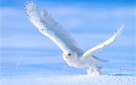 Preview wallpaper White owl in snow winter