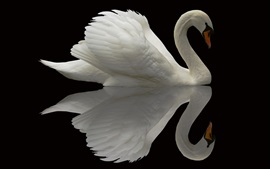 White swan, black background, water reflection