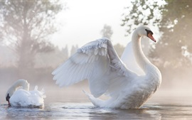 Cisnes brancos na manhã, água, nevoeiro