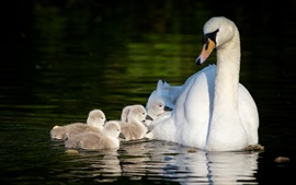 Preview wallpaper White swans, motherhood, pond