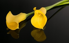 Yellow calla lily, black background