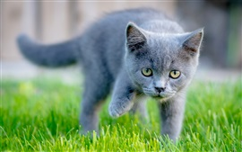 Yellow eyes gray kitten, green grass