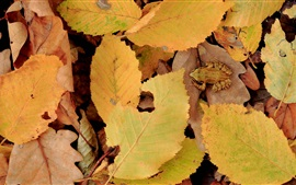 Preview wallpaper Yellow leaves, autumn, frog
