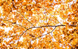 Hojas amarillas, otoño, ramitas, fondo blanco