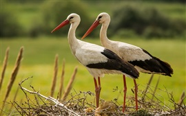 Preview wallpaper A pair storks