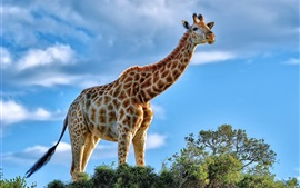 Animais africanos, girafa, arbusto