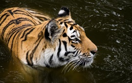 Preview wallpaper Amur tiger, pond, predator
