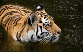 Amur tigre, lagoa, predador
