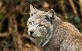 Animais, close-up, lynx, olhar, costas