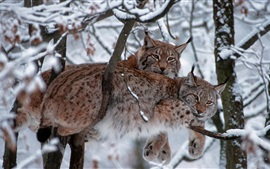 Preview wallpaper Bavarian Forest National Park, Germany, trees, lynx, winter, snow