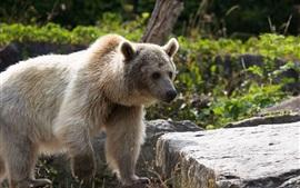 미리보기 배경 화면 곰, 돌