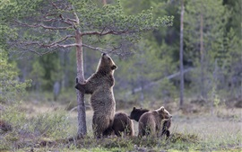 Bear want to climb tree, cubs, grass