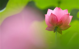 Beautiful pink lotus, petals, blur background
