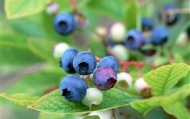 Preview wallpaper Berries, blueberries, twigs, leaves, plants