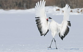 Bird, crane dance, wings, winter, snow