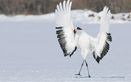 Pássaro, guindaste, dança, asas, inverno, neve