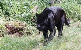 Preview wallpaper Black jaguar walking, grass, predator