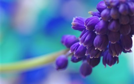 Preview wallpaper Blue grape hyacinth flowers macro photography