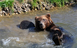 Brown bear bathing in the pond