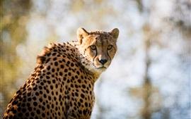 Cheetah manchado, predador olhar para trás