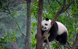 China, Sichuan, panda, tree, leaves