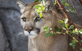 Cougar, mountain lion, wild cat, face, twigs