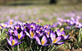 Preview wallpaper Crocuses bloom, purple flowers, petals