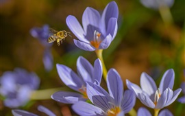 Preview wallpaper Crocuses, blue flowers, bee, spring