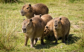 Preview wallpaper Cute animals, capybaras, grass, summer