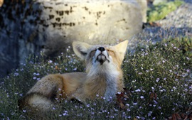 Preview wallpaper Cute fox in grass want to sleep