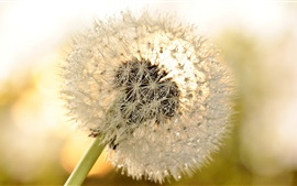 Preview wallpaper Dandelion flower close-up, dew, glare