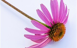 Preview wallpaper Echinacea, pink petals