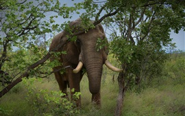 Elephant, trees, grass