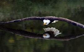 Preview wallpaper Flying eagle close to the lake water surface
