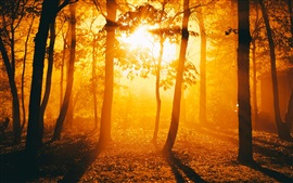 Forest, trees, sunrise, sunshine