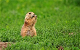 Preview wallpaper Gopher, squirrel, standing in grass
