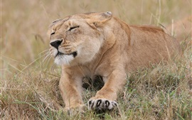 Preview wallpaper Grass, lioness rest, claws