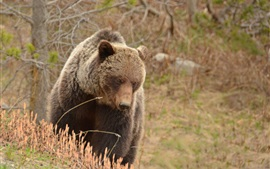 Preview wallpaper Grizzly, bear, nature