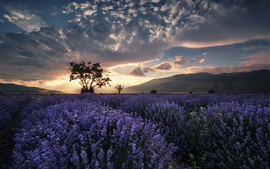 Preview wallpaper Lavender field, trees, summer, dusk, clouds, sunset