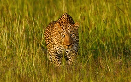 Preview wallpaper Leopard in the grass find you
