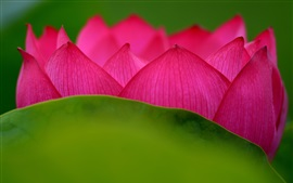 Lotus, pink petals, flower close-up, green leaf