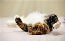 Adorável gatinho, rosto, patas