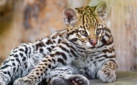 Jaguar adorável