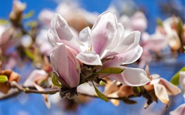 Preview wallpaper Magnolia, white flowers, spring