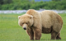 One brown bear in the grass