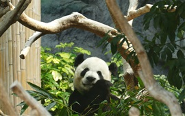 Preview wallpaper Panda eating bamboo, green leaves, zoo