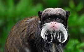Peru, Imperador Tamarin, macaco