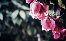 Preview wallpaper Pink bougainvillea leaves
