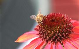 미리보기 배경 화면 핑크 에키 네시아 꽃, 꿀벌 수분